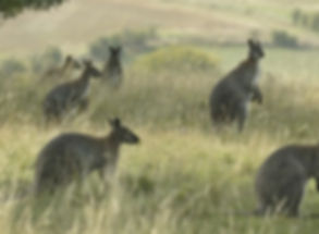 wallaby, kangaroo, sustainablefood source, sustainability.