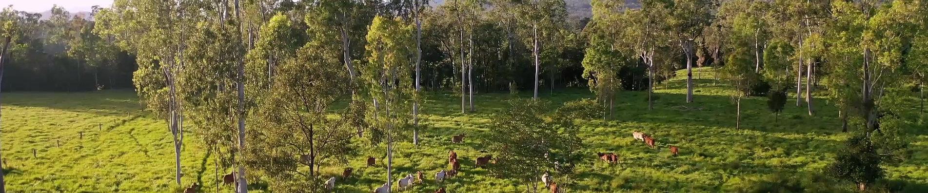 Palm Creek Breeders graizing in a frsh paddock.