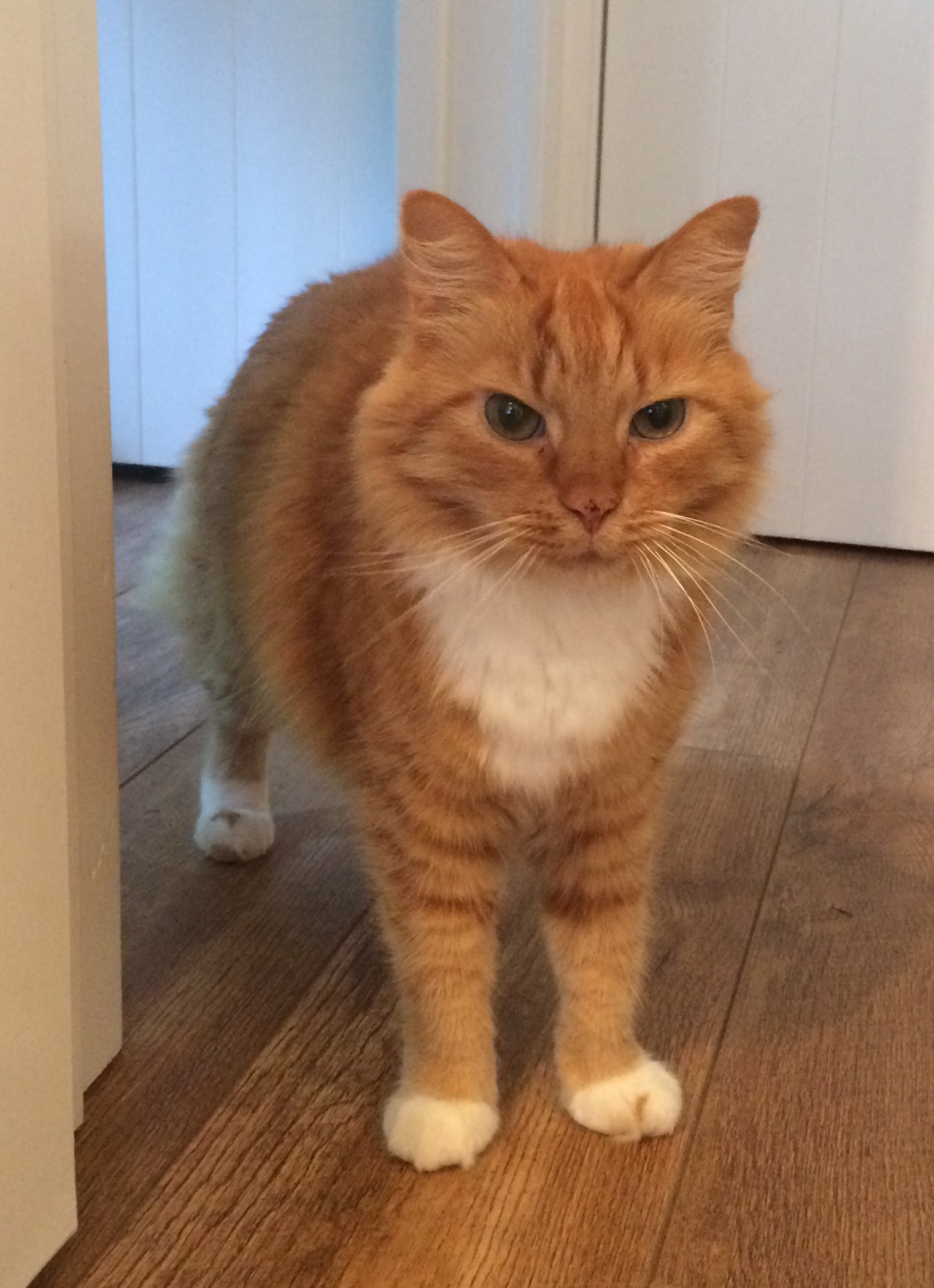 Domestic Longhair Ginger and White