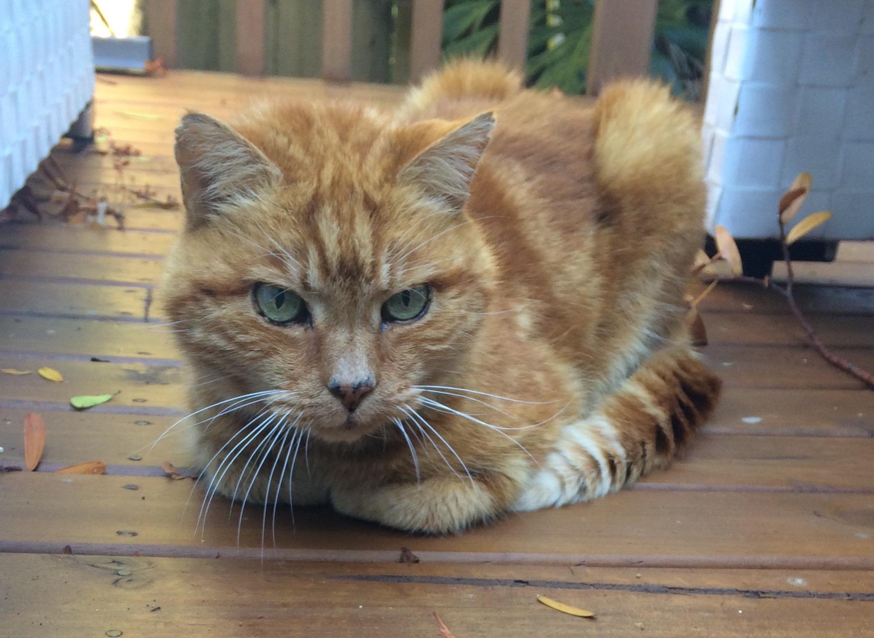 Domestic Shorthair Ginger Cat