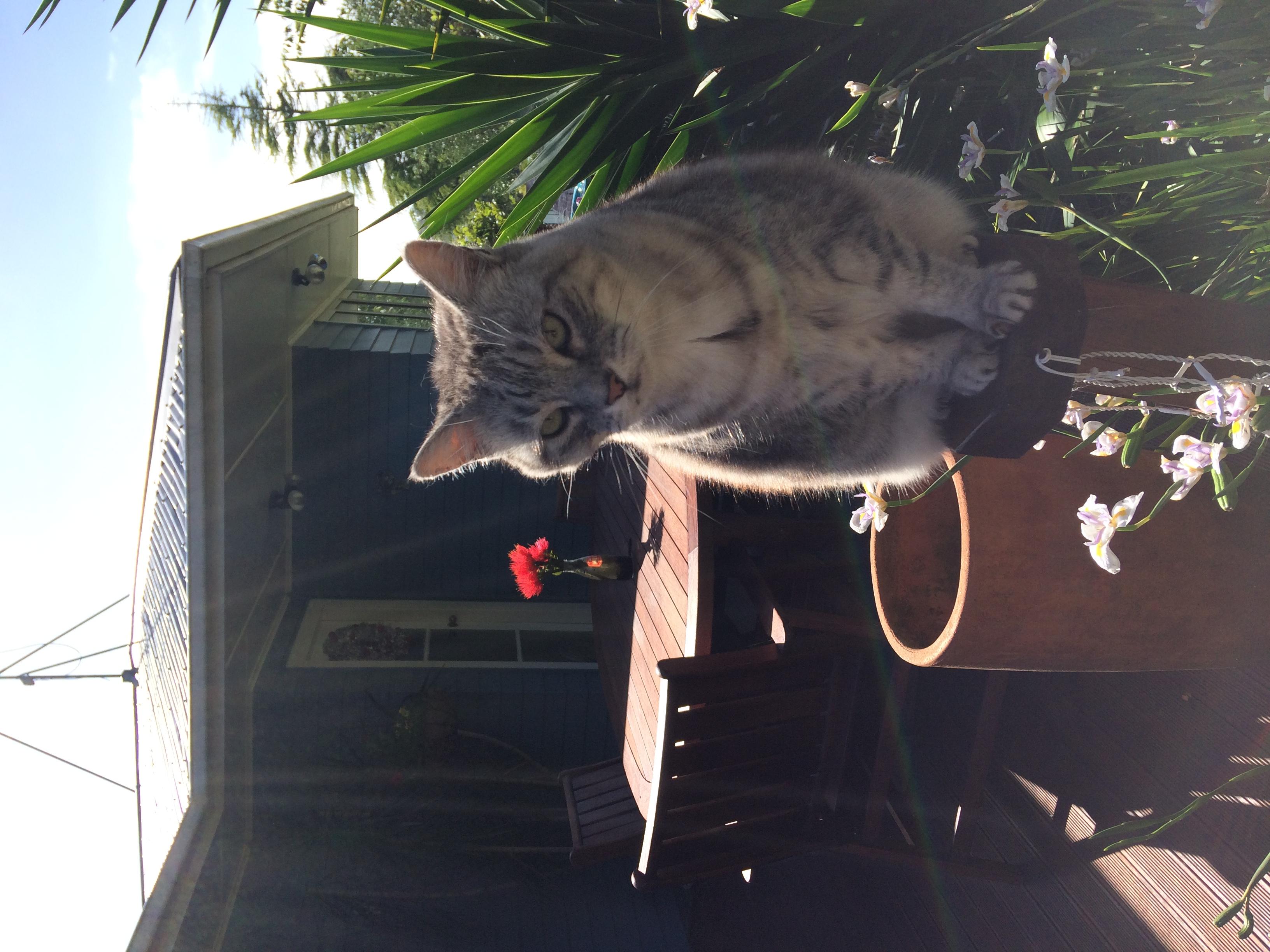 Domestic Shorthair Silver Tabby Cat