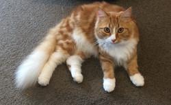 Domestic Longhair Ginger Tabby Cat