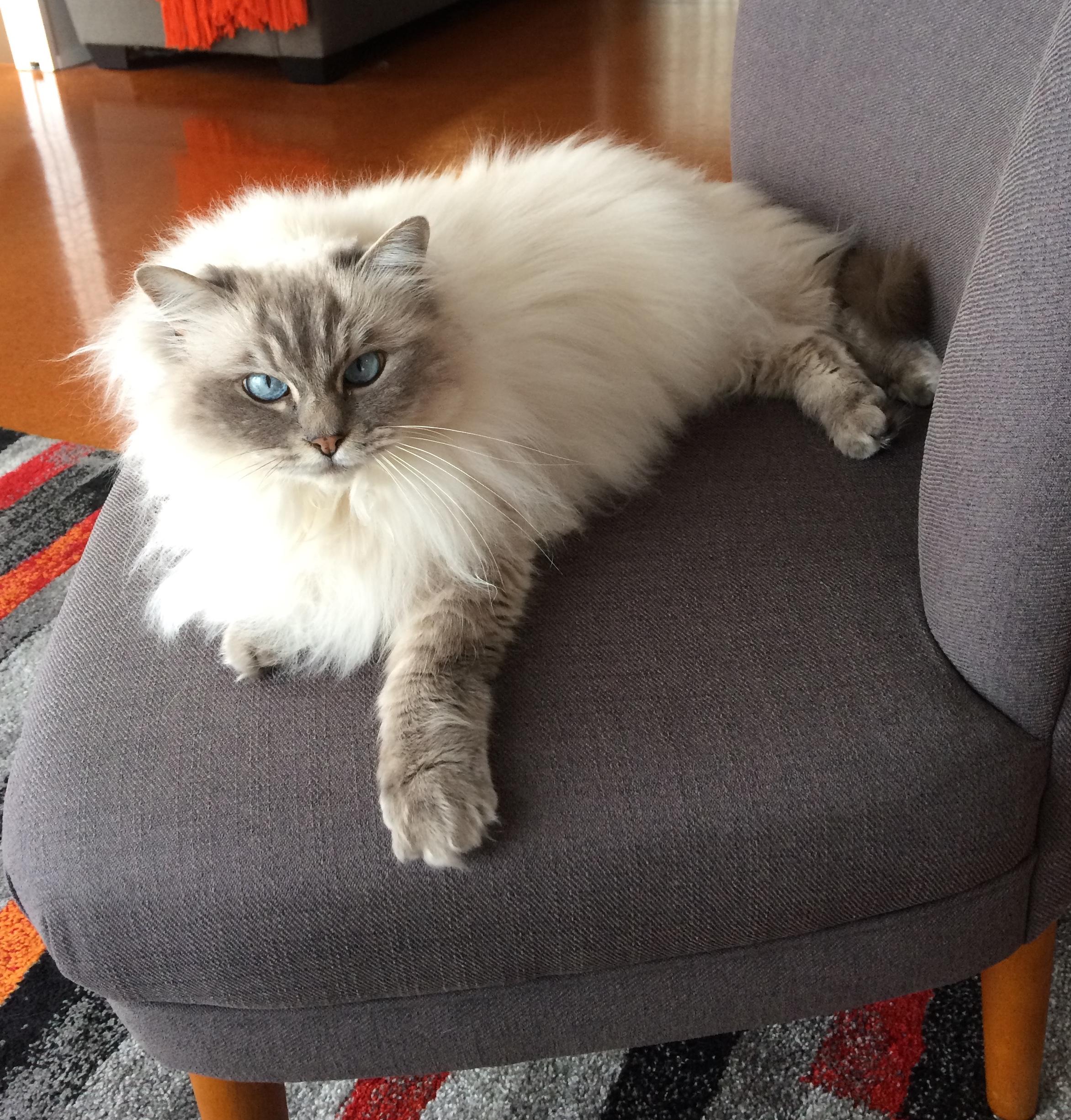 Blue Lynx Point Ragdoll Cat