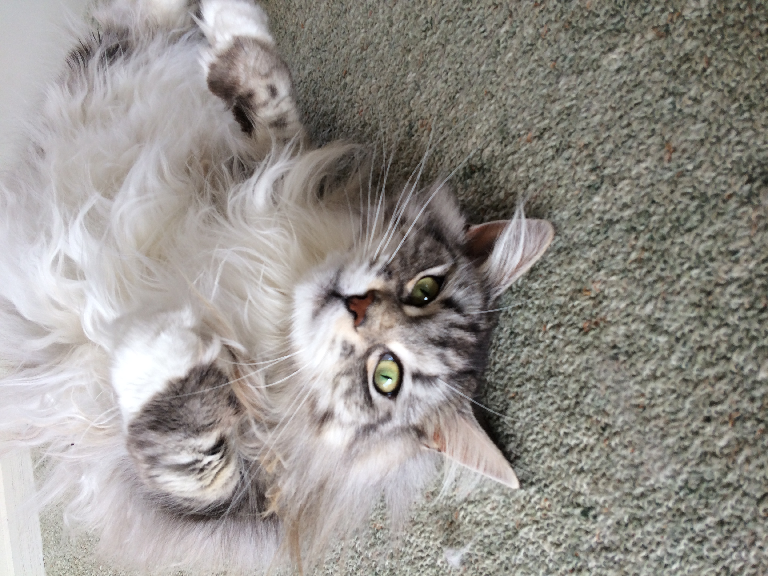 Silver Tabby Mainecoon Cat