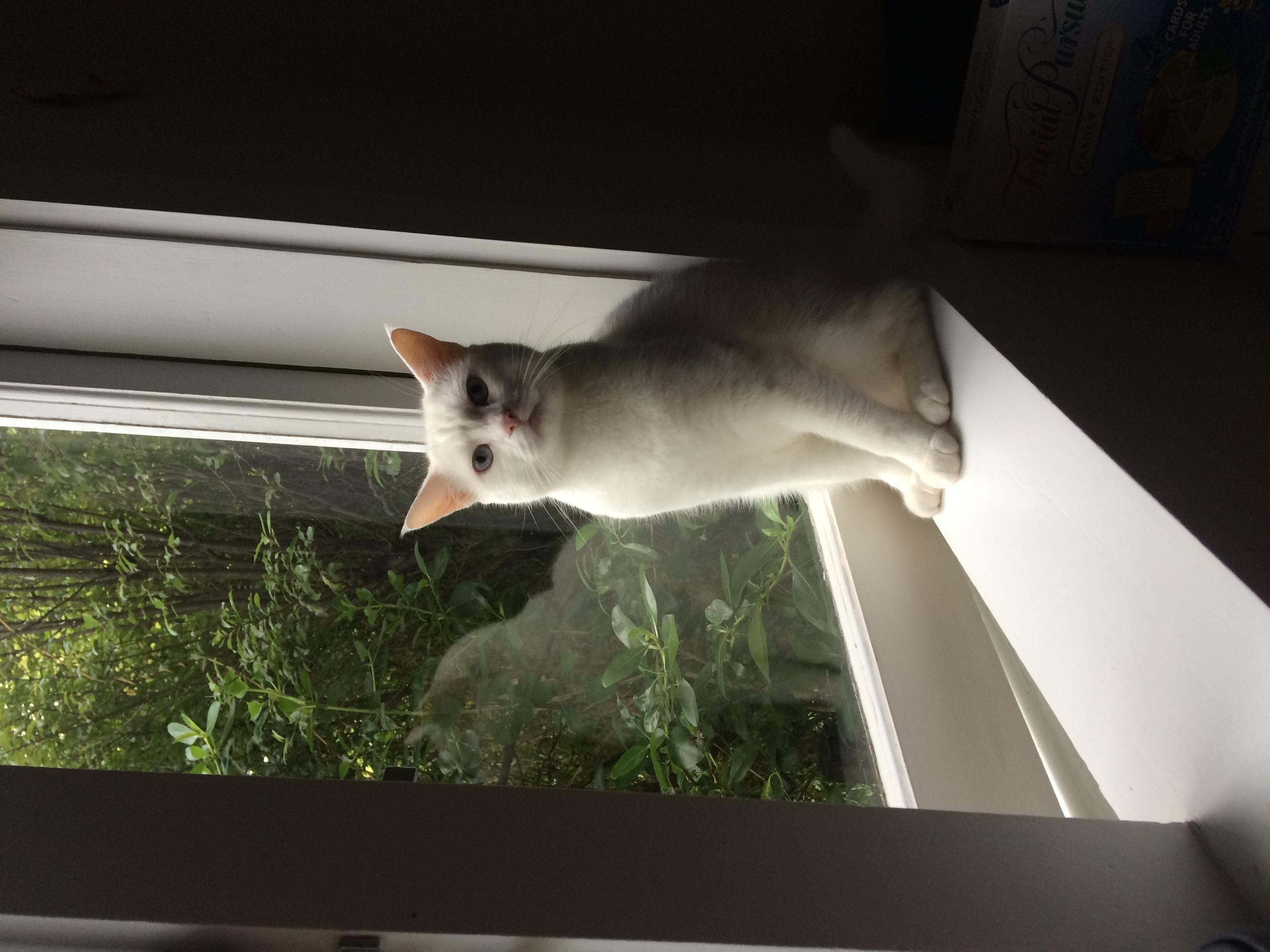Domestic Shorthair White Cat