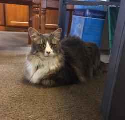 Domestic Longhair Silver Tabby Cat