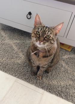 Domestic Shorthair Tabby Cat