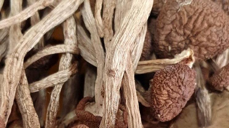 Agrocybe Aegerita 茶树菇