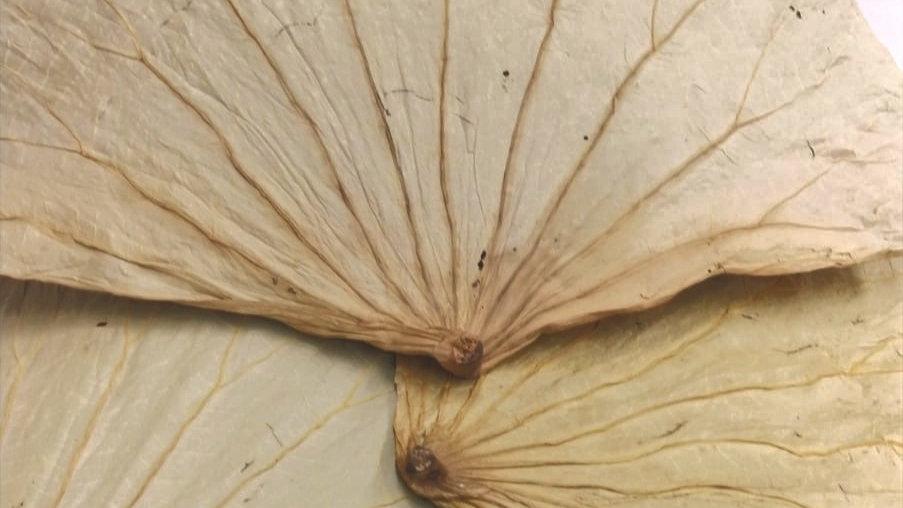 Lotus Leaves (Dried) 干荷叶