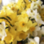 Daffodil Cluster-h1500.png