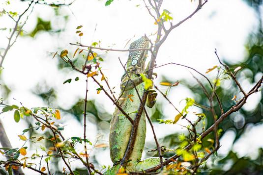 Iguana no Delta do Parnaíba