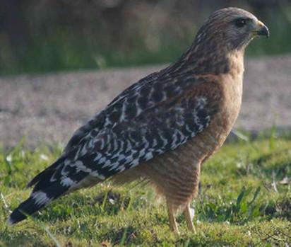 Hawk 1.jpg
