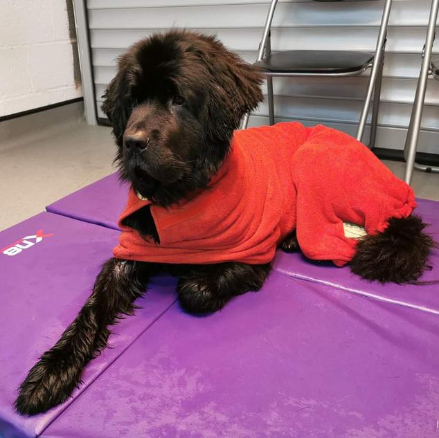 Tesla wearing mountain dog size