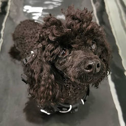 Lovely little toy poodle Berry taking a
