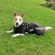 Cleo wearing small dachshund raincoat