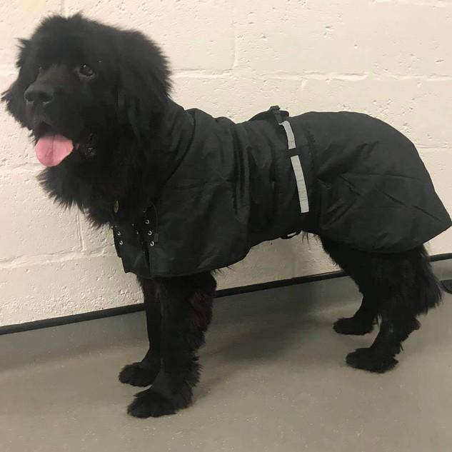 Tesla wearing 74cm multi-season dog rug with filling