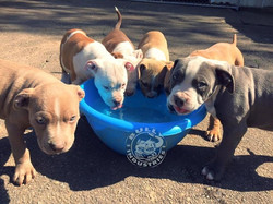 BULLY INDUSTRIES  PUPPIES DRINKINK WATER