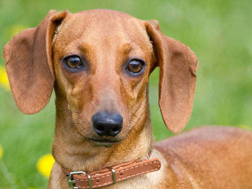 Dachshund (Miniature Smooth)