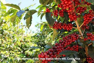 Coffee%2520Fruit%2520on%2520Trees_edited