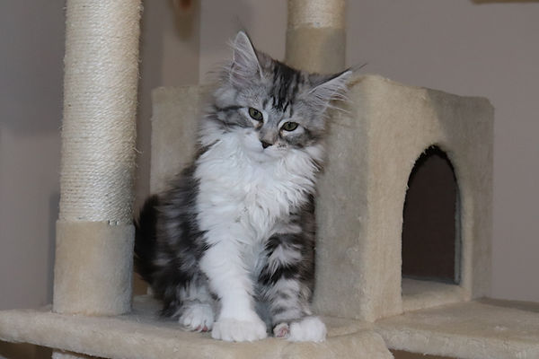 https://www.toplinemainecoons.com/