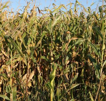 Corn Turning Golden