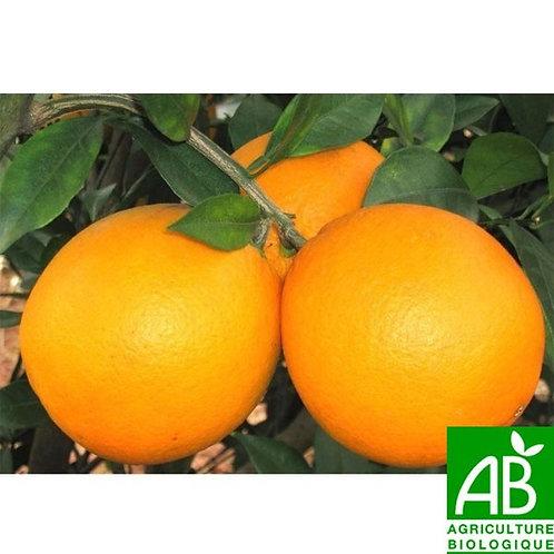 Oranges à jus (petite) bio (le kg)