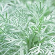 Artemisia schmidt 'Nana'