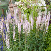 Veronica longifolia 'Eveline'