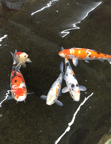 The koi in the stream by Iwaso