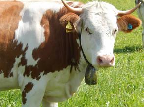 German cow