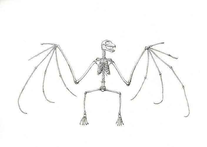 Flughund-Skelett.jpg