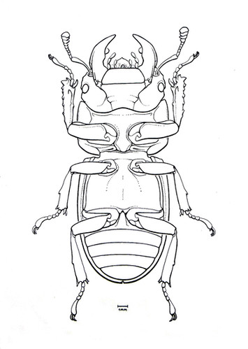 Dorcus parallelepipedus.jpg