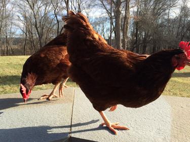 Rent chickens in Massachusetts Rhode Island rental reds hens fresh eggs backyard rhent-a-flock