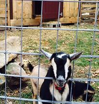 Farm animal renting massachusetts goats rent chicken rental rhent-a-flock