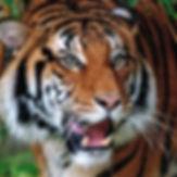 A-Action Tiger.jpg