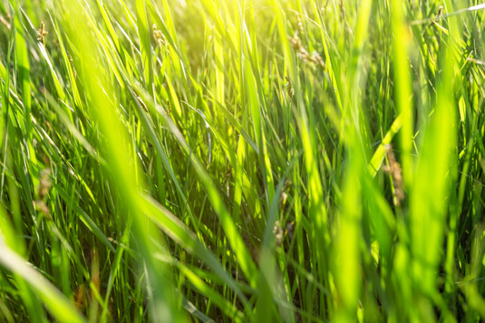 green-grass-lit-by-bright-sun-CED4WUY.jp