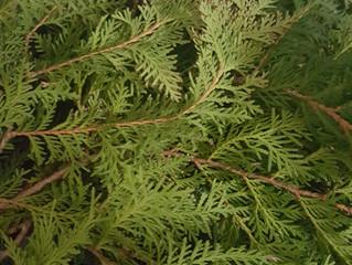 Plant Spirits - White Eastern Cedar