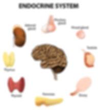endocrine system.jpg