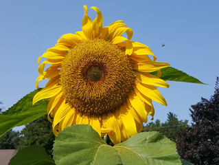 Plant Spirit - Sunflower