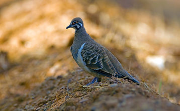 Northern Squatter Pigeon