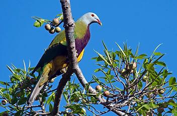 Wompoo Fruit-Dove