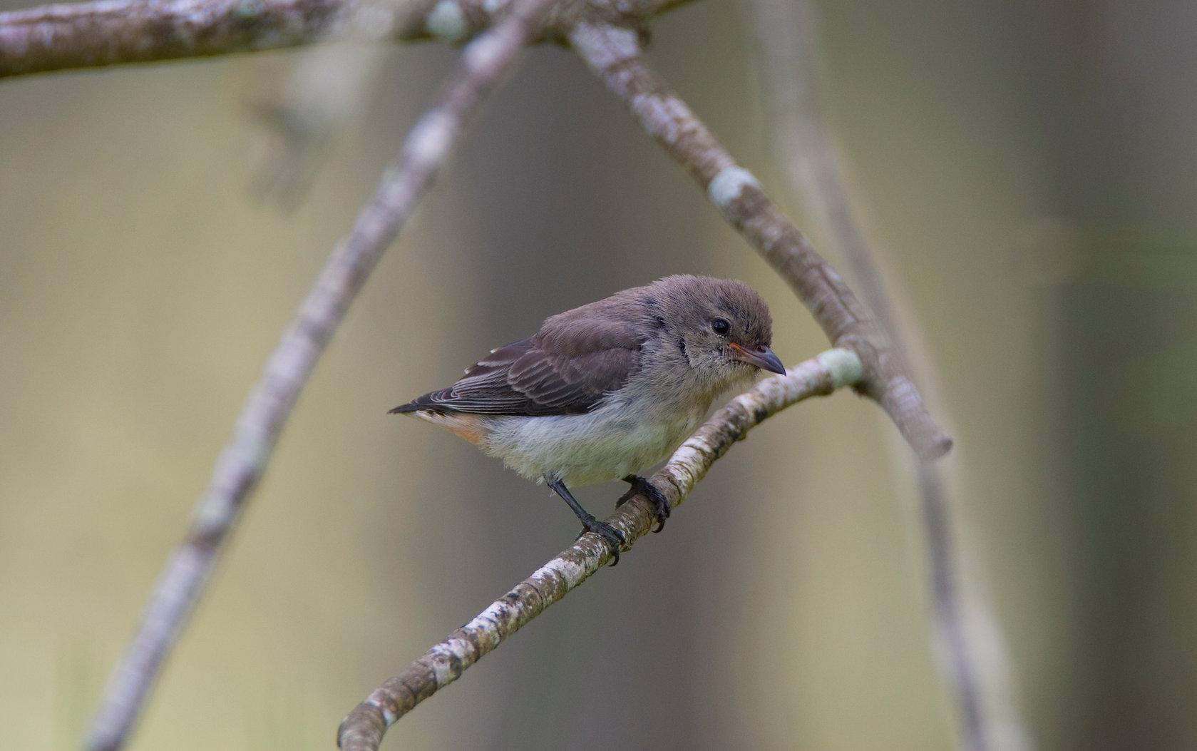 Australian Mistletoebird