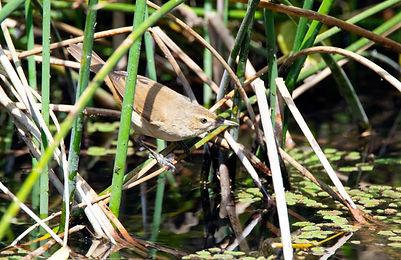 Reed-Warblers