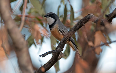 Whistlers, Shrike-thrushes and allies