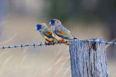 Parrots, Lorikeets and Rosellas