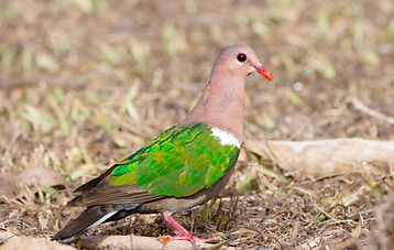 Brown-capped Emerald-Dove