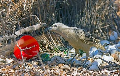 Bowerbirds and Catbirds