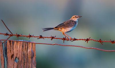 Grassbirds