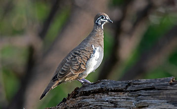 Southern Squatter Pigeon