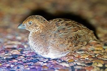 Little Button-quail